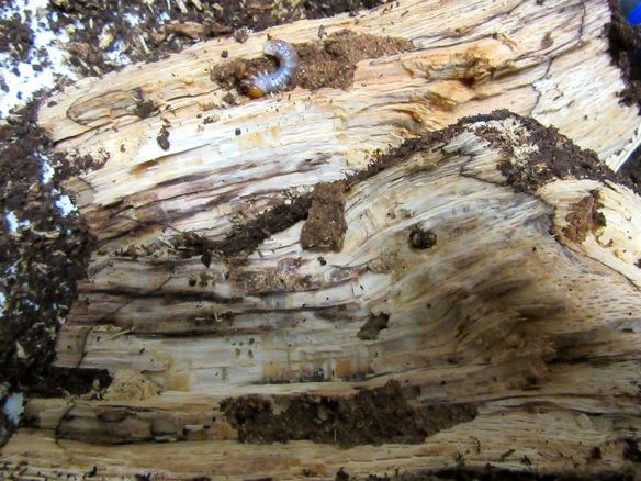 朽ち木を割って出て来た幼虫