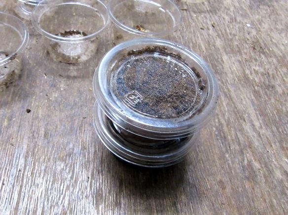 カップに入れたイキヒラタクワガタの幼虫