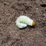 ノコギリクワガタ、コクワガタ、アマミシカの幼虫のマット交換
