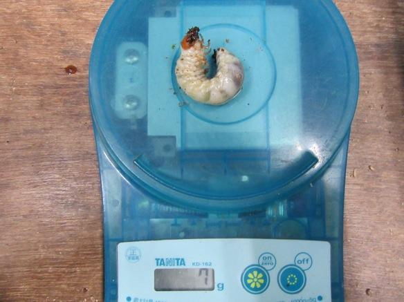 トカラコクワガタの幼虫7グラム