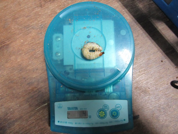 アマミコクワの幼虫4グラム