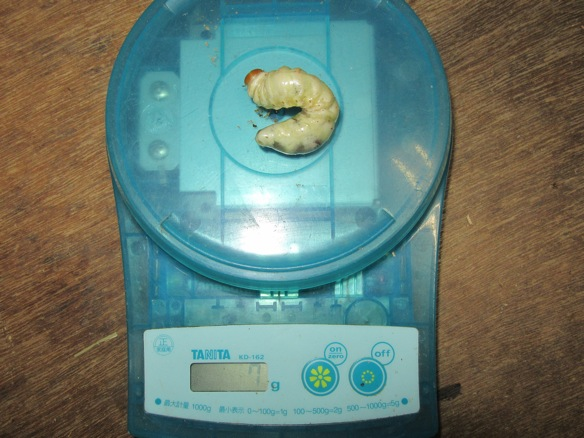ヤクシマコクワ幼虫7グラム