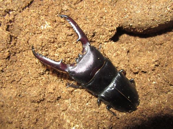 ツシマヒラタ77ミリ