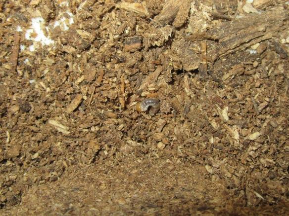 成虫マットから出て来たスジクワガタの幼虫です。