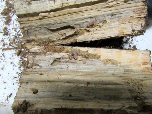 産卵木から出て来たスジクワガタの幼虫
