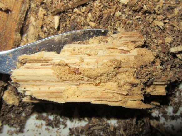 産卵木のなかのスジクワガタの幼虫