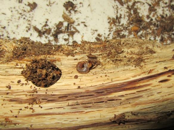 産卵木から出て来た幼虫