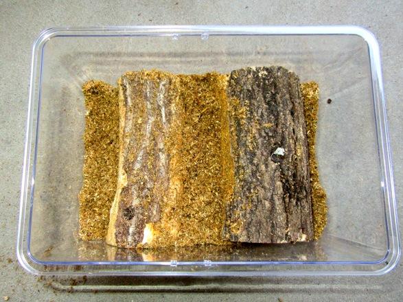 樹皮を剥がした産卵木を飼育容器にセットします