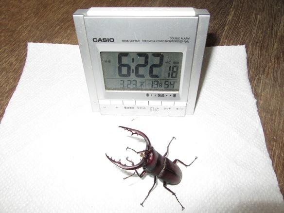 宮崎県産ノコギリクワガタ64ミリ