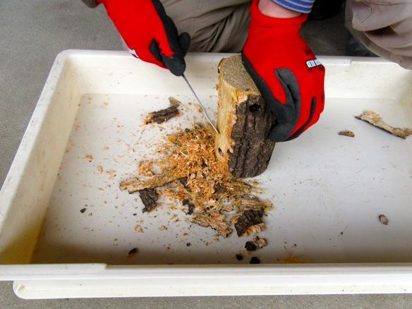 水切りが終わった産卵木の樹皮を剝がします。