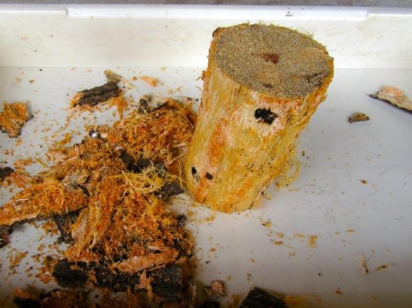 産卵木の樹皮を完全に剥がします。