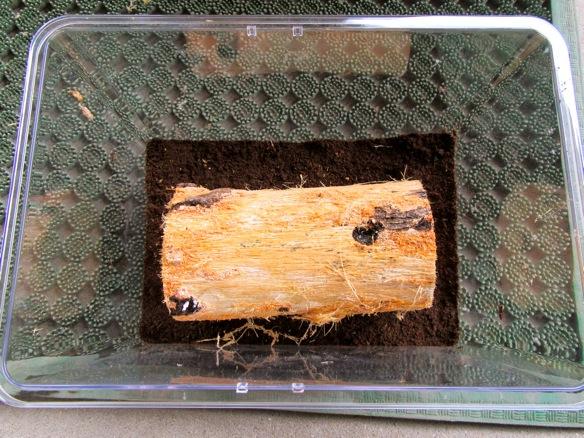 樹皮を剥がした産卵木を容器に入れます。