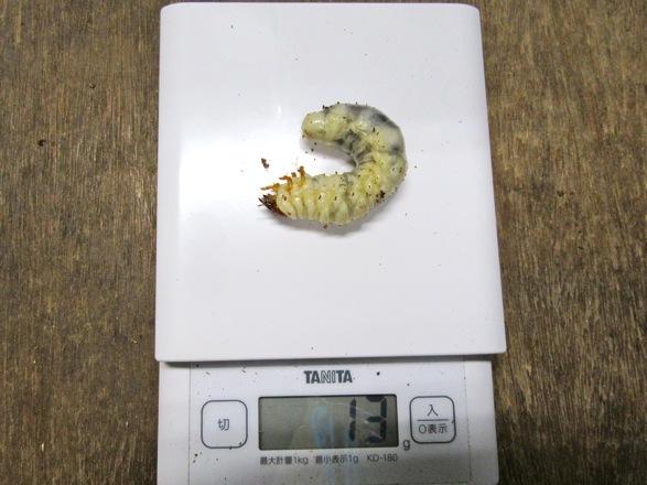クチノエラブノコギリの終齢13g