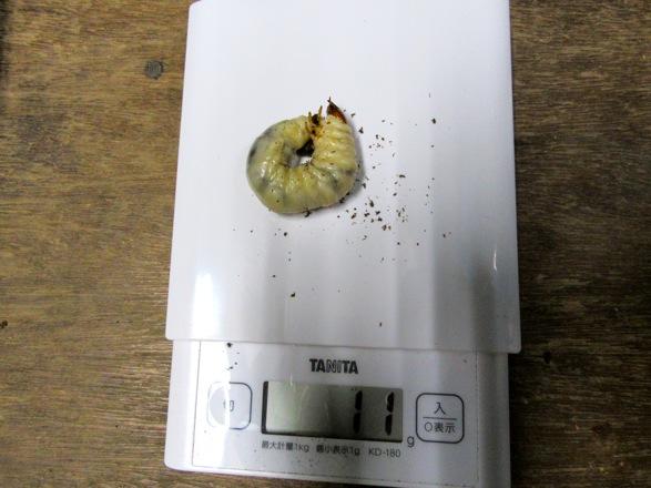 オキナワノコギリの幼虫11グラム