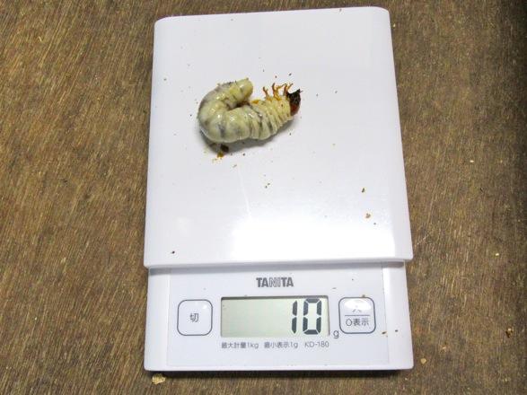 オキナワノコギリの終齢幼虫10g