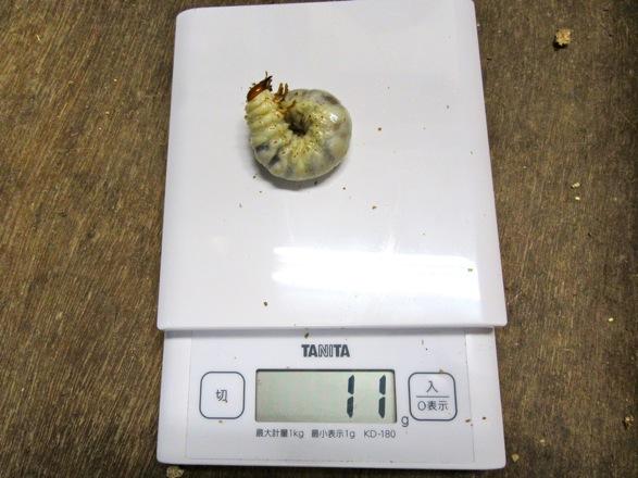 国産ノコギリクワガタの幼虫11グラム