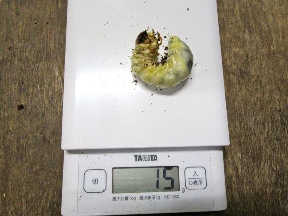 トカラノコギリクワガタの幼虫15グラム