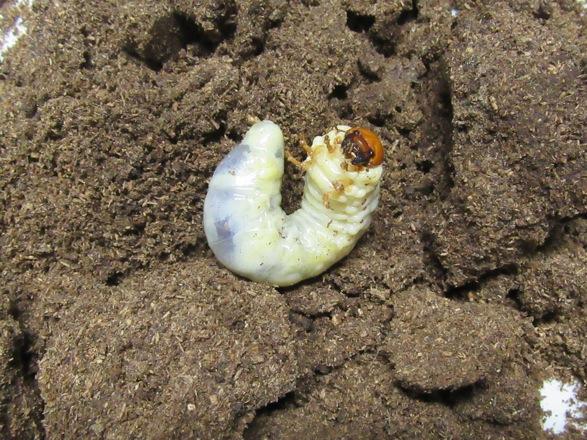 トカラノコギリの幼虫です。