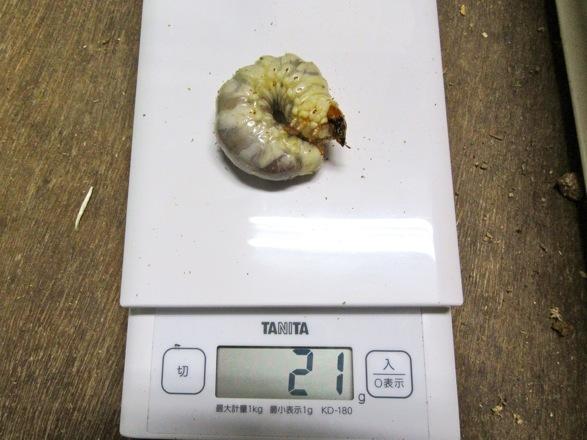オキナワヒラタの21gの幼虫