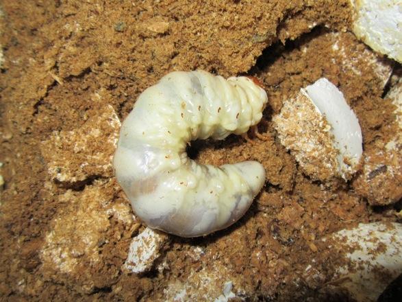 菌糸ビンから出したオキナワヒラタの幼虫