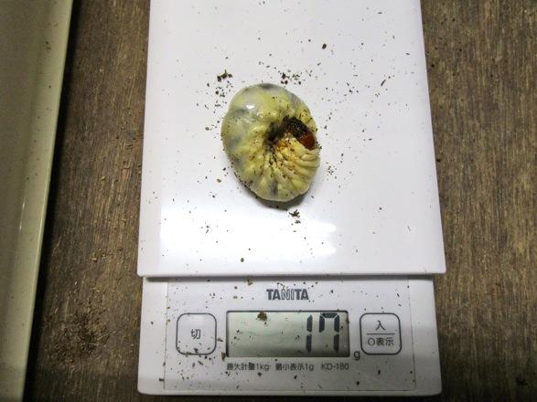 トクノシマノコギリの終齢幼虫17グラム