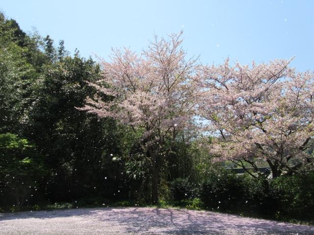 桜の花吹雪
