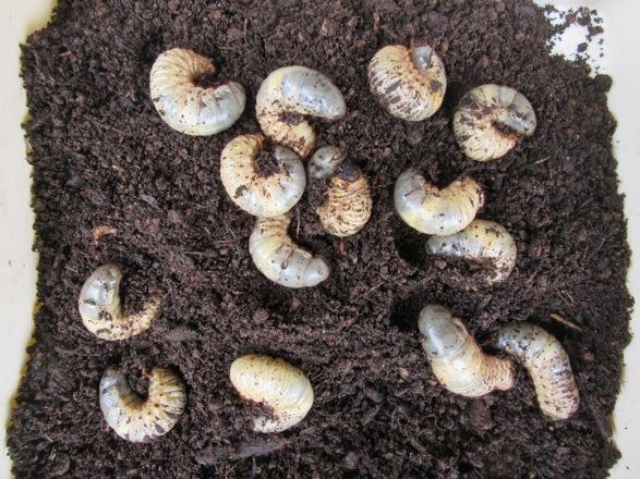 屋久島産カブトムシの幼虫