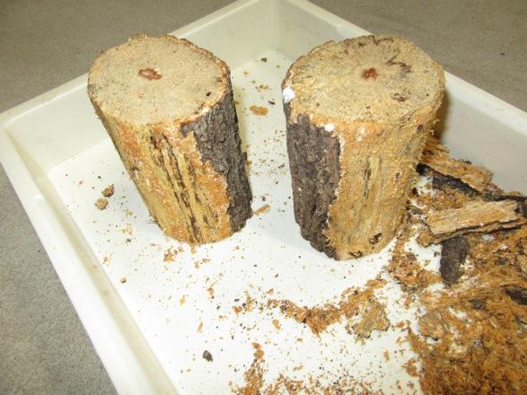 2セット分の産卵木の樹皮を剥がしました。