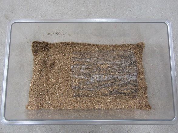 オオクワガタの産卵木のセット完了です。