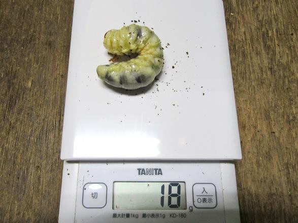 アマミノコギリの幼虫18g