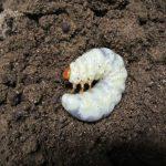 アマミノコギリクワガタなど幼虫のマット交換(2017年4月)