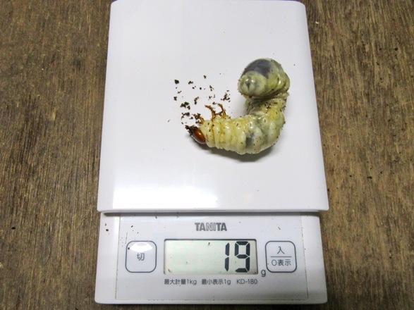 アマミノコギリクワガタの幼虫19g