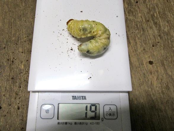 国産ヒラタクワガタの幼虫19g