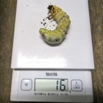 トクノシマノコギリの幼虫のエサ交換