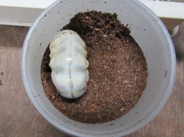 マットボトルにトクノシマノコギリの幼虫を投入!