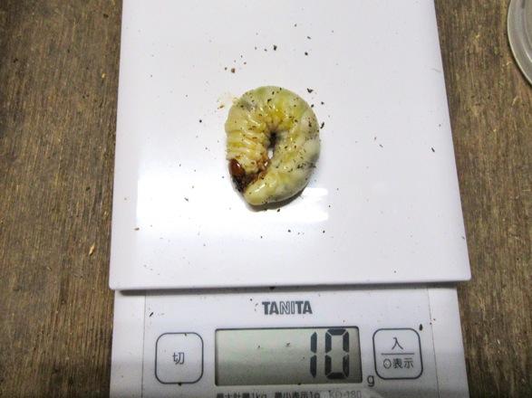対馬産ノコギリクワガタの終齢幼虫10グラム