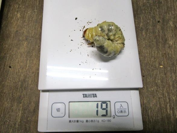屋久島産ヒラタの幼虫19g