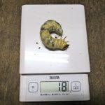 屋久島産ヒラタクワガタの幼虫のマット交換