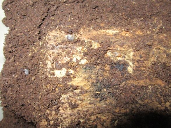 容器をひっくり返して出て来たヤマトサビの幼虫