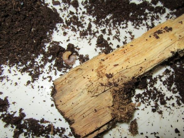 産卵木を少し割って出て来たヤマトサビの幼虫です。