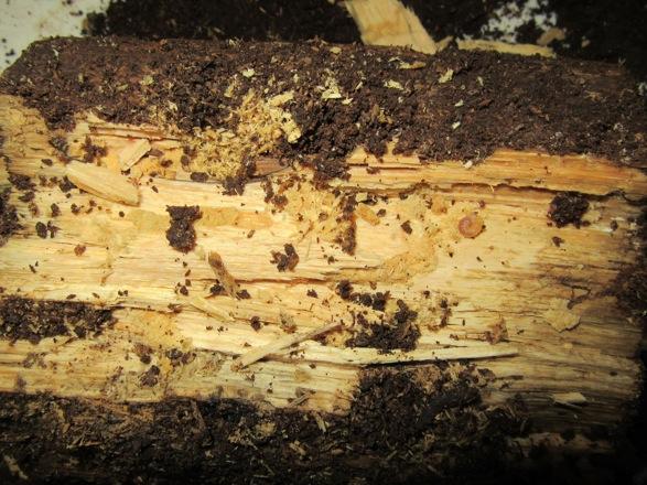 食痕と共に現れたヤマトサビの幼虫