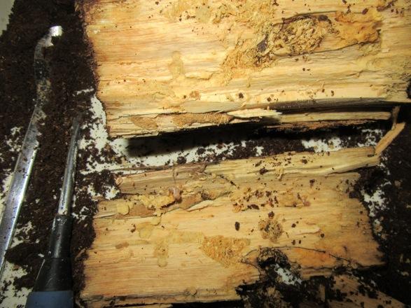 産卵木を割って出て来たヤマトサビの幼虫