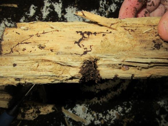 産卵木の薄い破片から出て来た幼虫