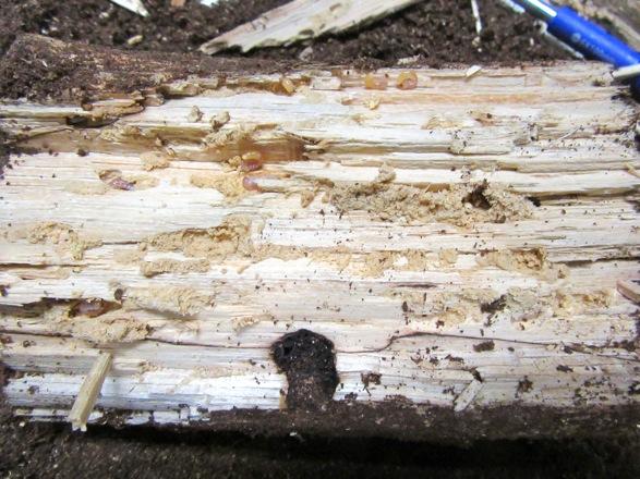 産卵木から出て来た無数のヤマトサビの幼虫