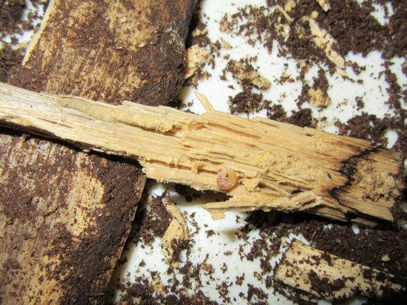 小さな破片の中にも沢山の幼虫が潜り込んでいました。