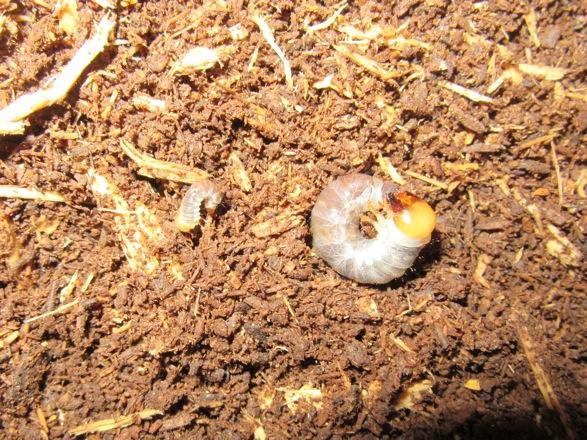 トクノシマヒラタの初齢と二齢幼虫