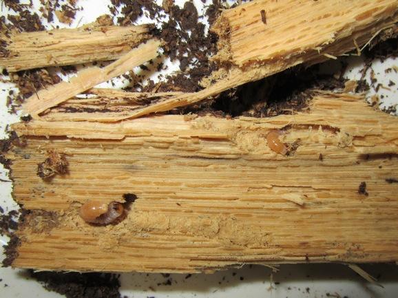 産卵木から出て来た複数の幼虫