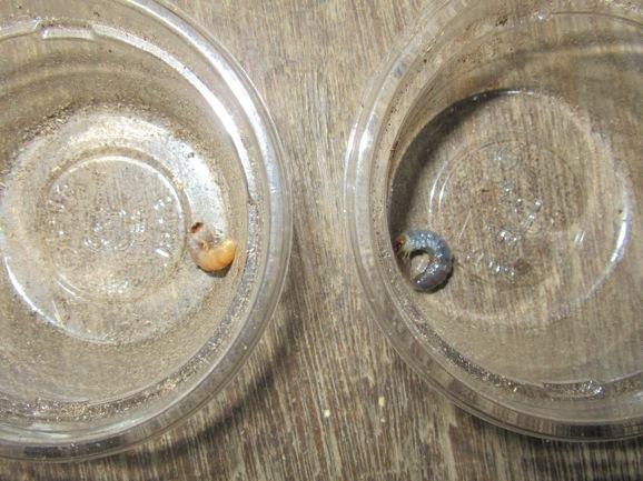 マットを食べた幼虫と朽木を食べた幼虫