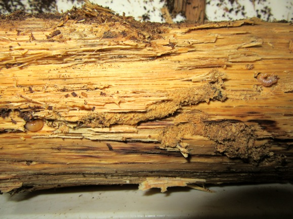 芯の付近から出て来た幼虫