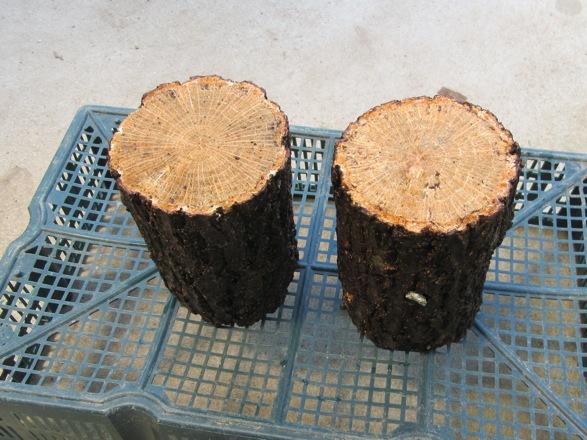 産卵木を日陰で干します。